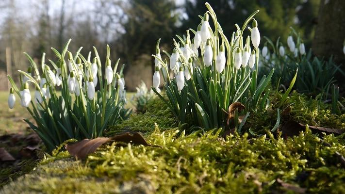 printemps-1-mars-perce-neige