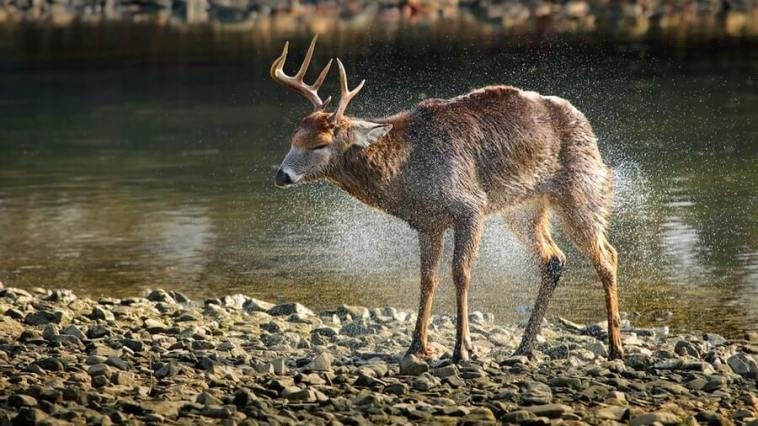 Side View of Deer Walking in Lake at Forest