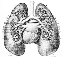 PSM_V20_D771_Bronchi_and_lungs_of_man.jpg