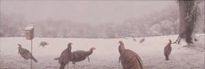 Ken-Davies-Turkeys-on-Walnu