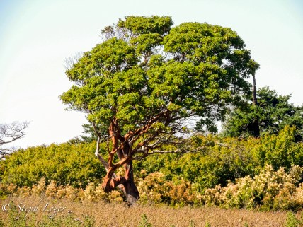 Pacific Madrone (Arbutus menziesii) - Protection Island, WA
