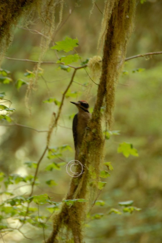 Hairy Woodpecker(?) – Picoides villosus