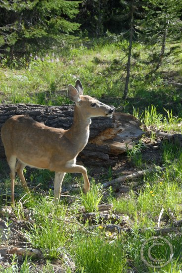 Columbia blacktail deer- Odocoileus hemionus columbianus