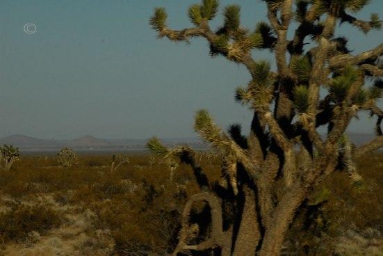 Joshua Tree -Yucca brevifolia (Photo by D.R.J.)