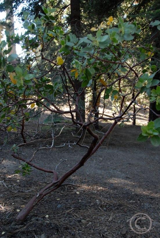 Manzanitas (Arctostaphylos)