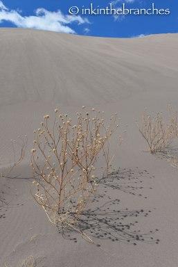 Prairie sunflower skeletons