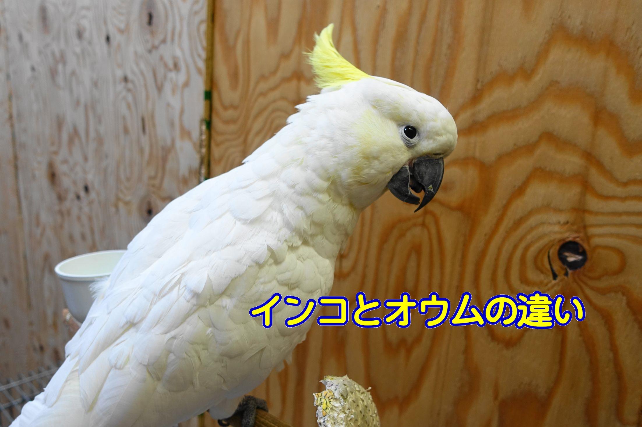 鳥ビア】インコとオウムの違いは何?見分けるポイントは冠羽の有無 ...