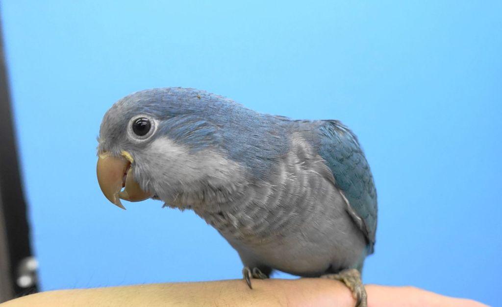 オキナインコのブルーの写真