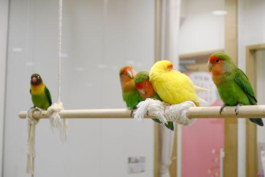 小鳥カフェ心斎橋のコザクラインコとボタンインコ