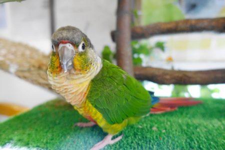 小鳥ひろばのウロコインコのコロンちゃん