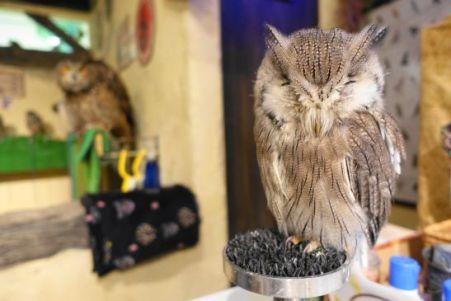鳥のいるカフェ浅草店のフクロウ