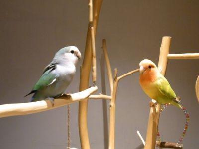 Lovebird Cafe CHERRYのコザクラインコ2羽(あおちゃんとよっちゃん)