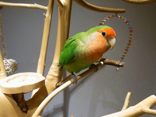 京都の鳥カフェ「Lovebird Cafe CHERRY」のコザクラインコ・そうちゃん