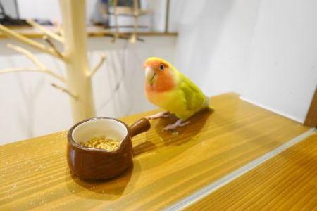 インコカフェ「LoveBird Cafe CHERRY」のコザクラインコ・よっちゃん