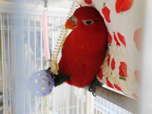鳥のいるカフェ本店のローリー・ショウジョウインコのリンゴちゃん