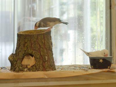 ことりカフェ吉祥寺の文鳥