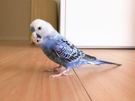 PFDFに感染しやすいインコはセキセイインコでヒナから3歳の成鳥ごろまで