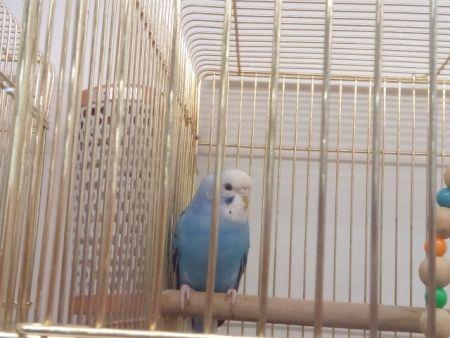 ケージの中で過ごす飼い鳥のセキセイインコ