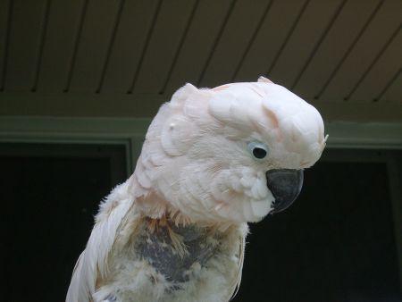 愛鳥の毛引き症の症状・様子・見た目