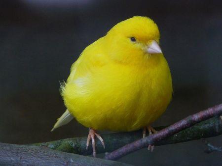 カナリアとは黄色い羽の小鳥でフィンチの一種