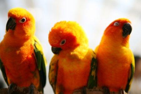 コガネメキシコインコの3羽が並んでいる様子