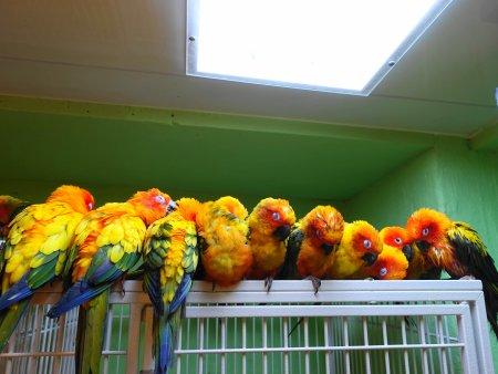 鳥のいるカフェ浅草店の名物のコガネメキシコインコの群れ