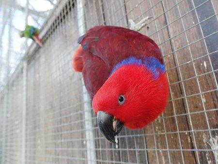 掛川花鳥園のメスのオオハナインコ