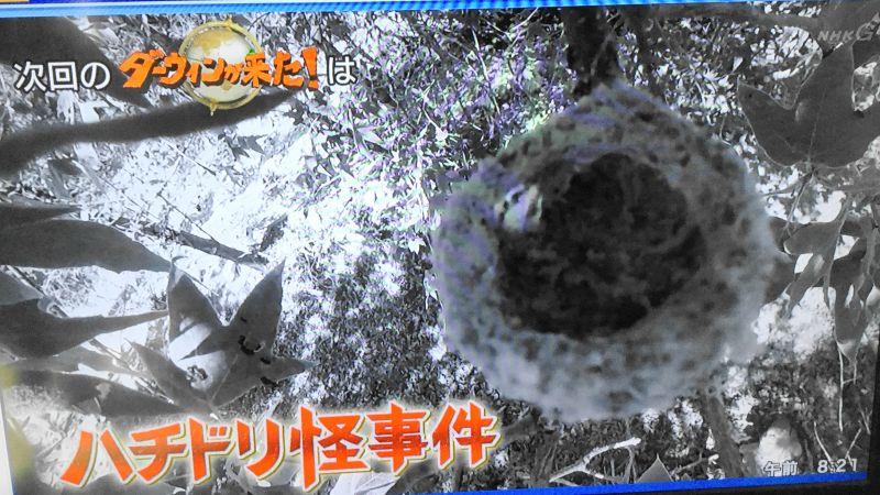 ダーウィンが来た!ハチドリ特集で、ノドグロハチドリの巣から卵が一斉に消える事象が発生