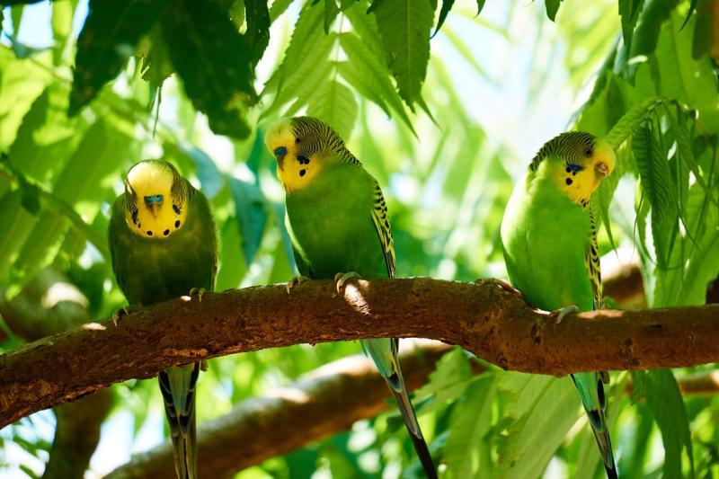 インコ含む野生の鳥類の多くは昼間に活動する昼行性の生き物