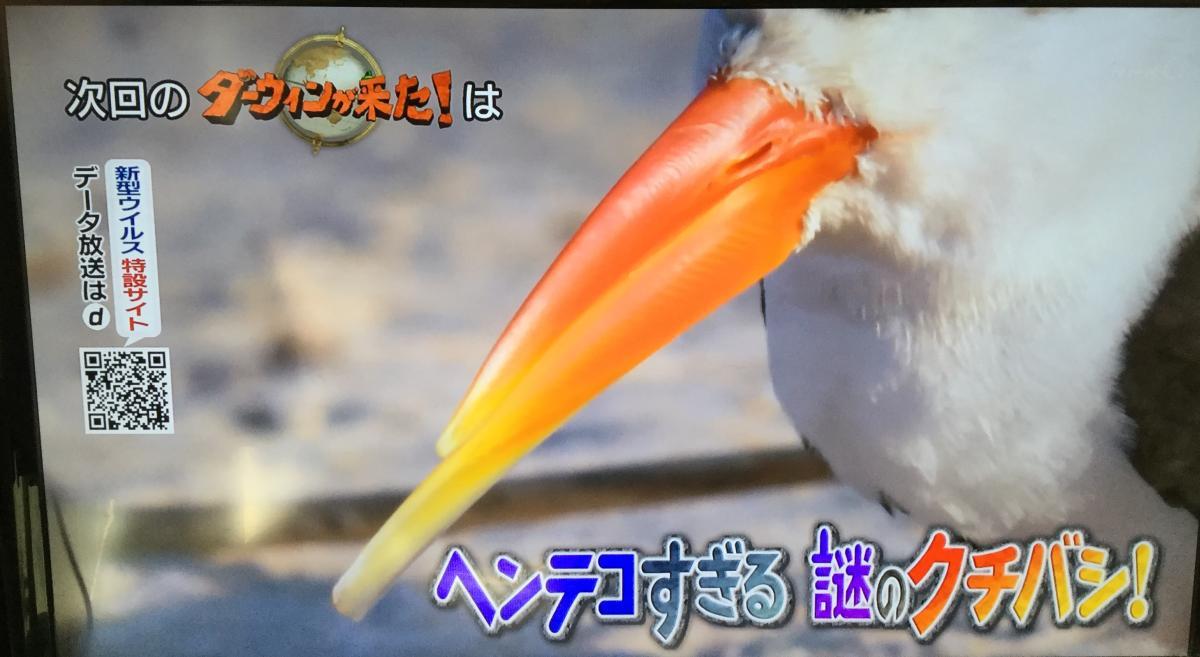 NHKダーウィンが来たのハサミアジサシ特集の予告