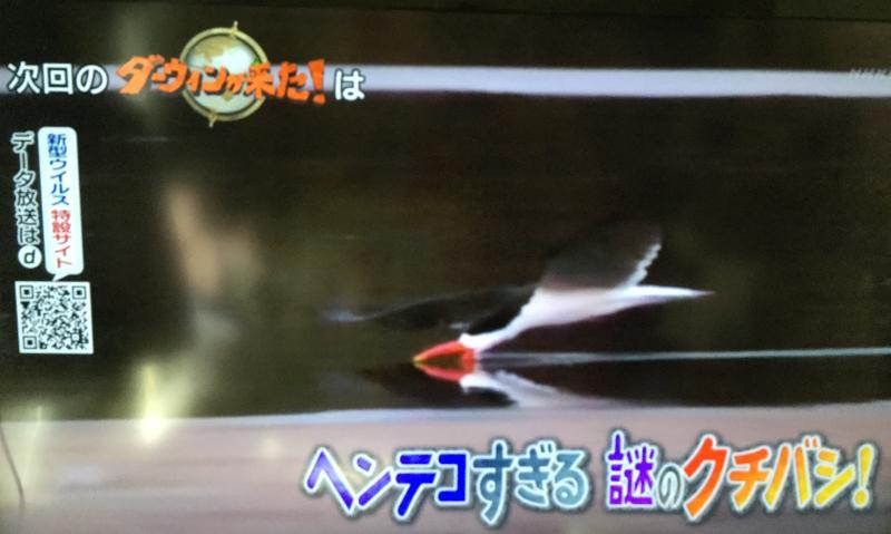 アフリカハサミアジサシが川で狩りをする様子