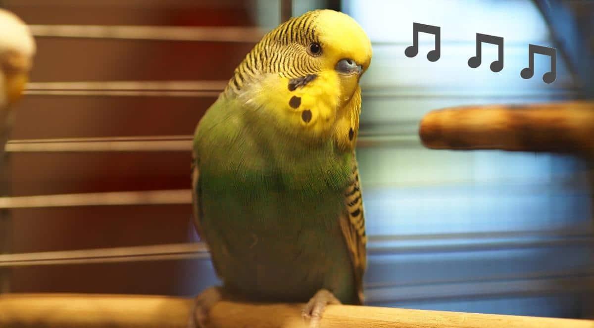 インコの鳴き声には地鳴き、さえずり、警戒鳴きの3種類