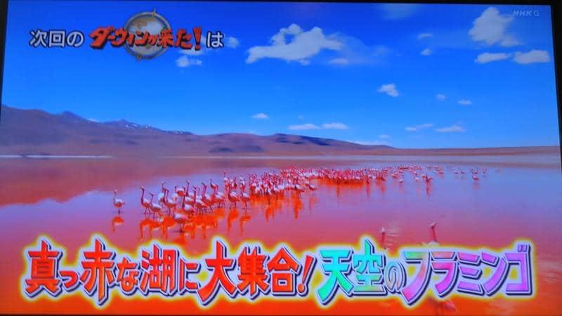 大勢の群れでコロラダ湖に集結し、繁殖活動を行い求愛のダンスを行うフラミンゴ