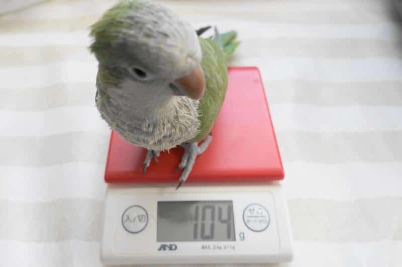 オキナインコ・ノーマルの体重測定。日々の体重測定で通常の体重を把握し、体調不良の兆候に気づくことができる