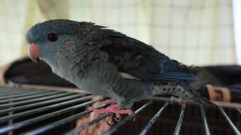 換羽が起きて筆毛がたくさん見えているサザナミインコ・ターコイズ