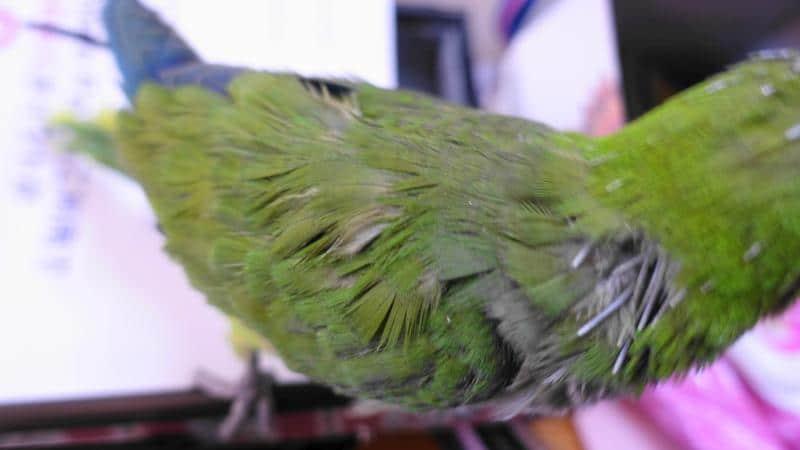 首の後ろ部分で長い筆毛がたくさんあって絶賛換羽中のオキナインコノーマル