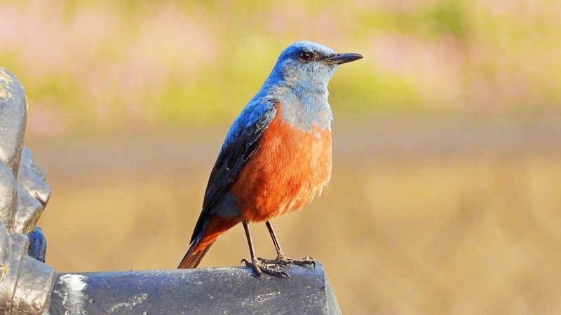 イソヒヨドリはスズメ目ヒタキ科の体長23cm、青色とオレンジ色の羽が特徴的な野鳥
