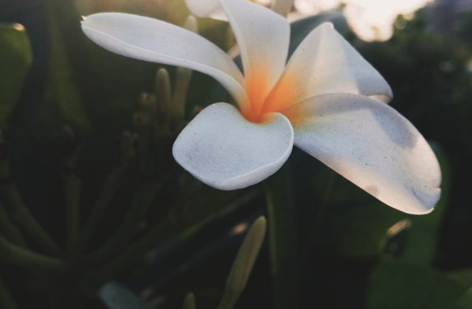 A beautiful white flower blooming while the sun sets in the background