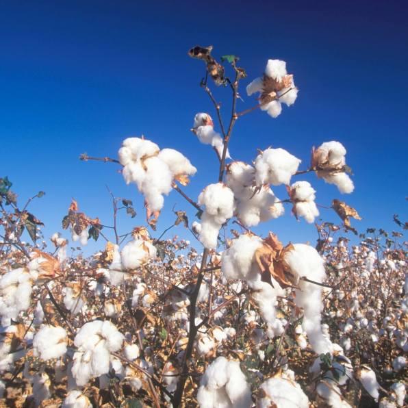foto bella de planta de algodón