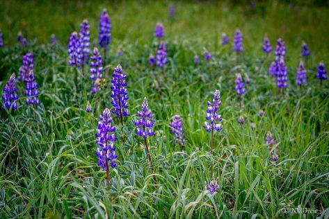 Meadow Lupine