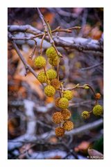 Sycamore Seed Pods
