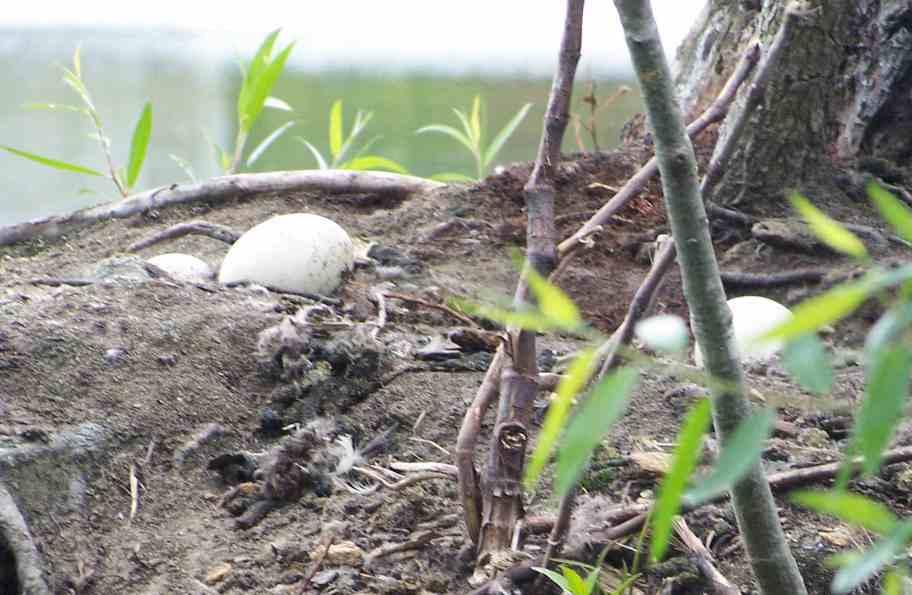 Goose Nest