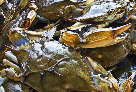Crabs: CREDIT: CARRIE B. GRISHAM/CHESAPEAKE BAY FOUNDATION