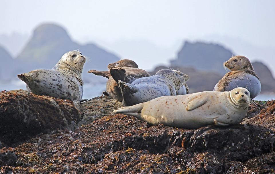 seals-902509_960_720