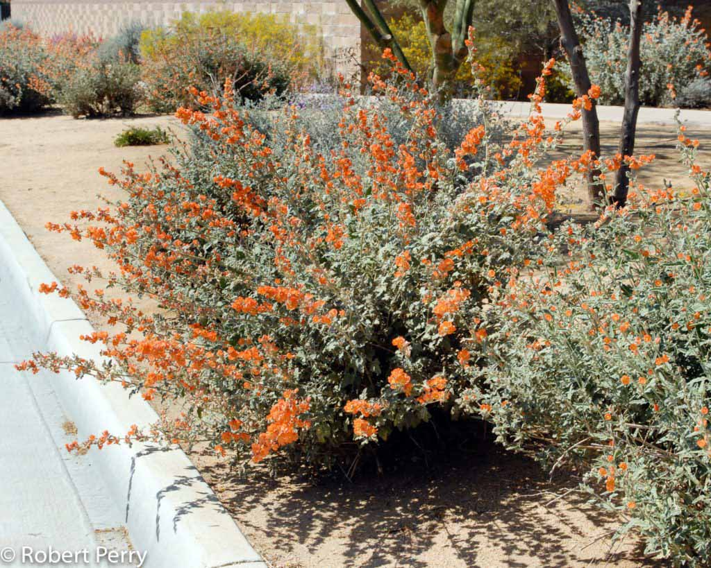 Tall Flowering Shrubs