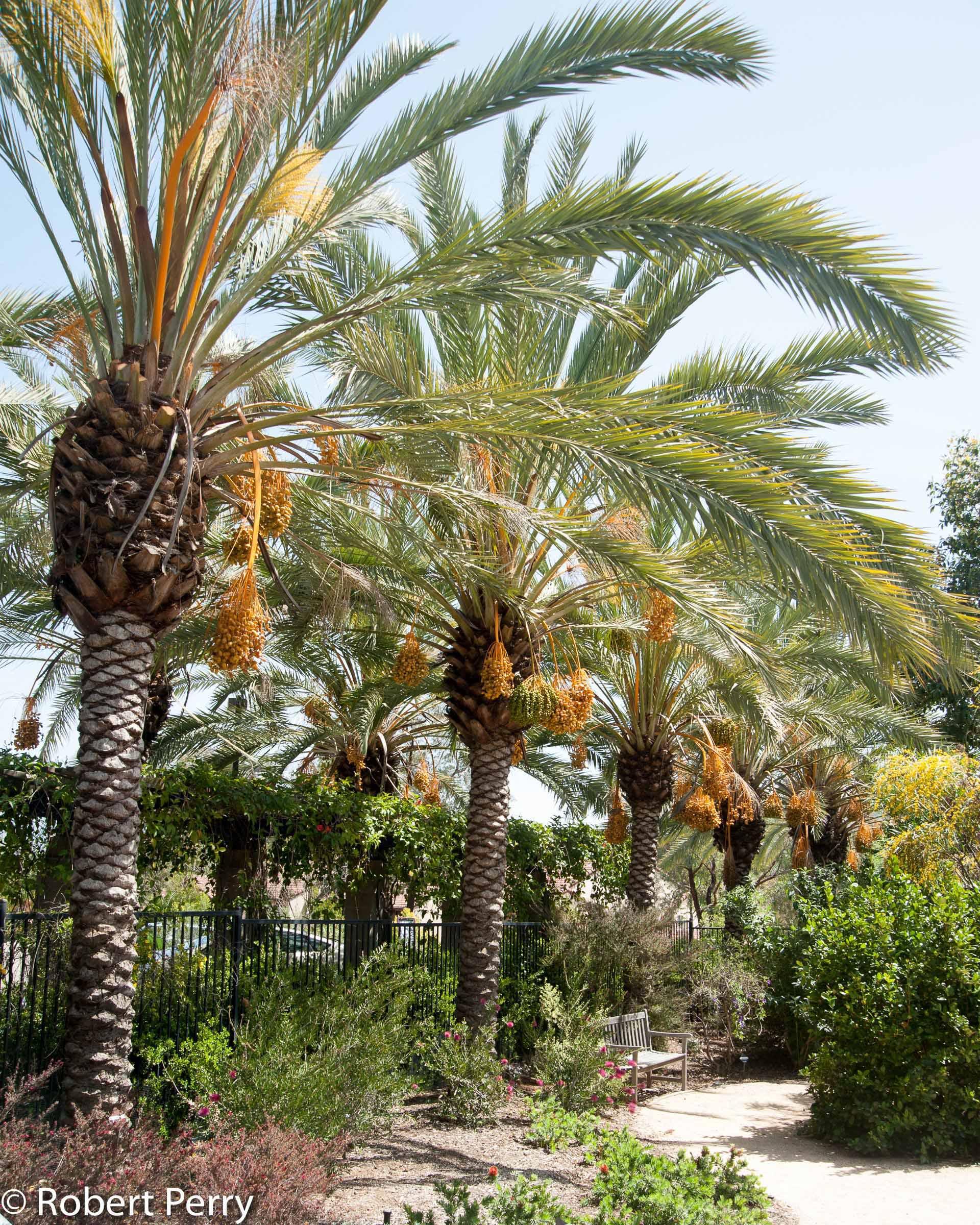 Phoenix Dactylifera Inland Valley Garden Planner