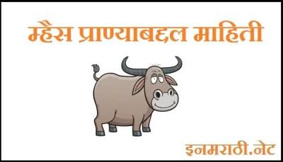 buffalo-infromation-in-marathi