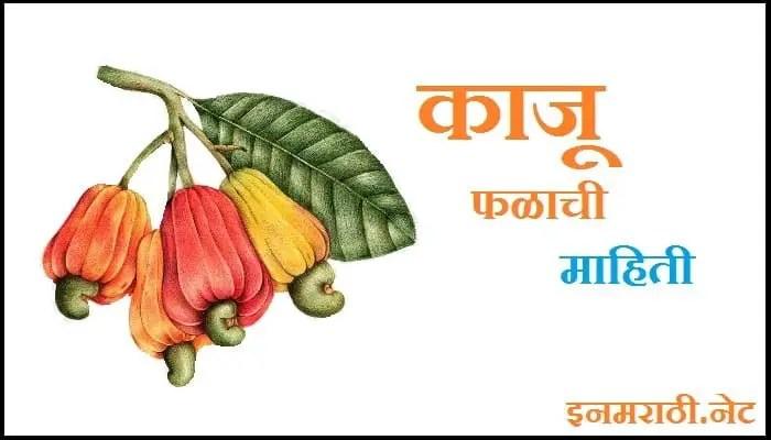 cashew information in marathi