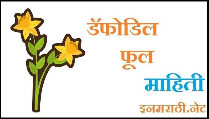 daffodil flower information in marathi