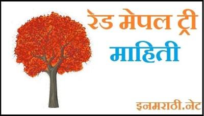 red maple tree information in marathi